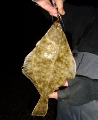 Photo of a flounder