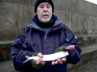 Picture of large herring