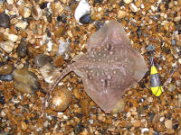 Picture of small thornback ray