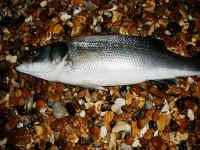 Seaford bass