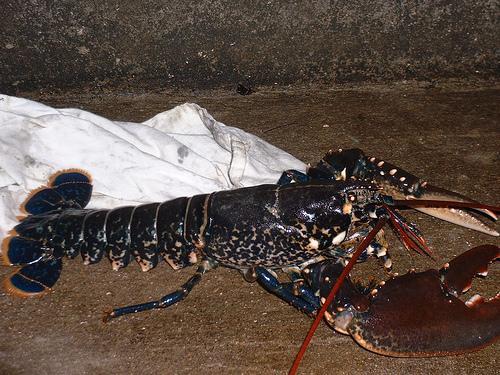 Lobster_2301894871_m