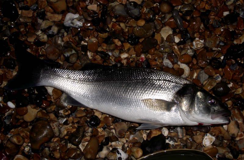 Seaford Bass_6042556330_l