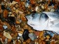 Seaford Bass_3912998444_m